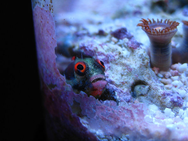 Red Eyed Barnacle Blenny Macro