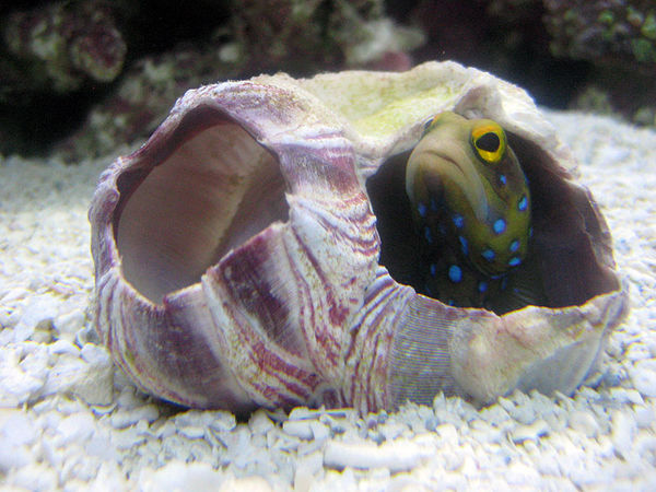 New Blue Spotted Jawfish in BC29