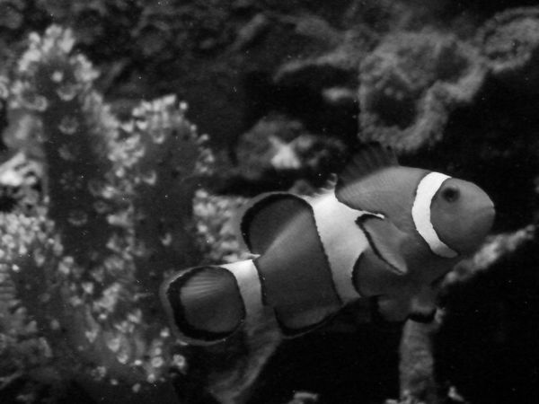 Amphiprion ocellaris (Clown Fish)