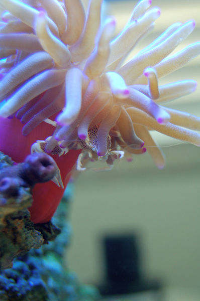 the pefect match..my anemone crab