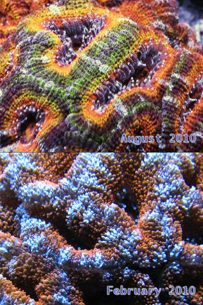 Color Morph Acan