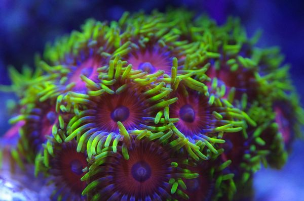 J-Ranko's Watermelon Zoa