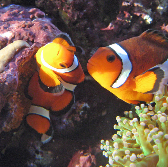 Male Clownfish Fertilizing Eggs