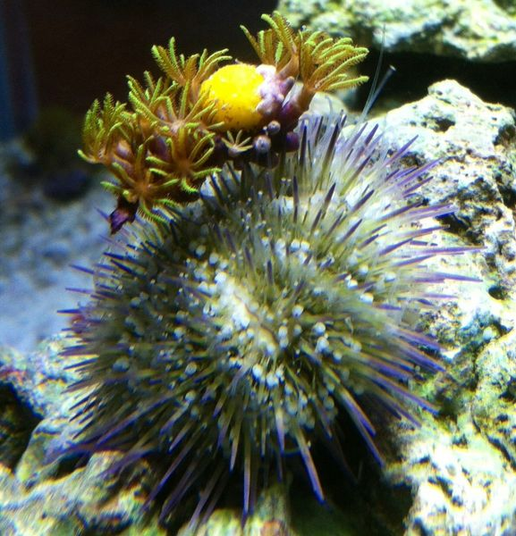 Urchin sporting a new hat
