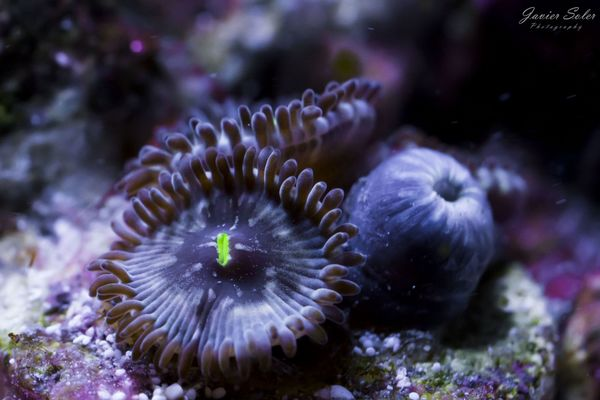 Hawaiian People Eater zoanthids