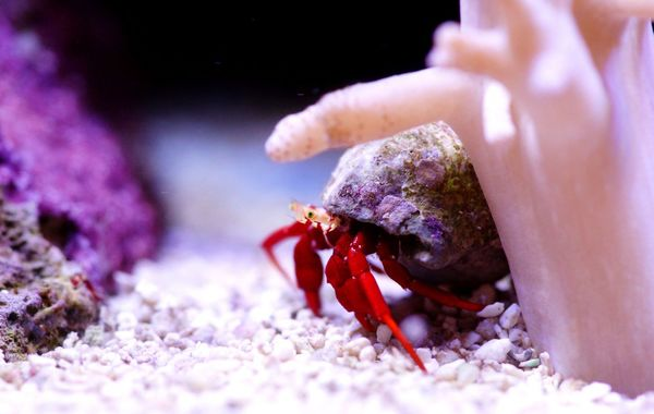 Red Legged Hermit Crab
