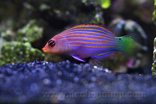 "Six Line Wrasse ""Lucy"""