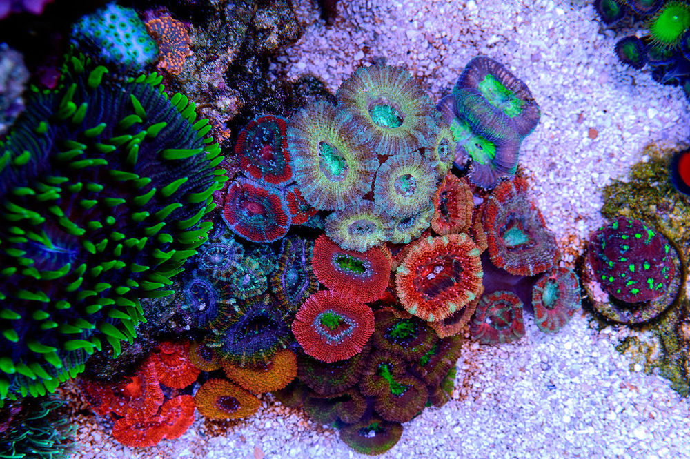 Acan-Garden-and-Plate-Coral.jpg