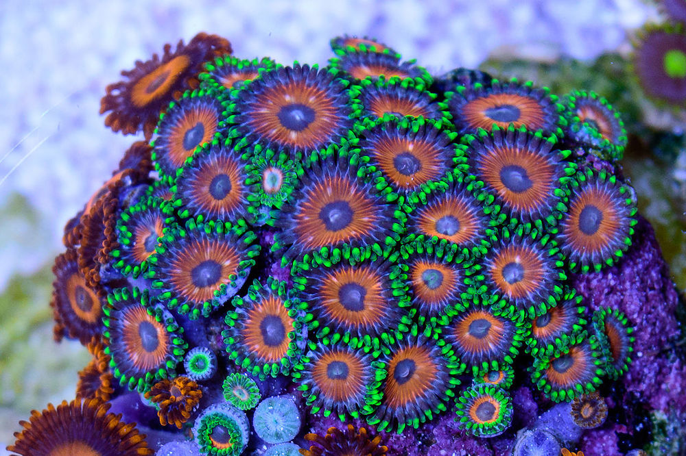 Candy-Apple-Zoas.jpg