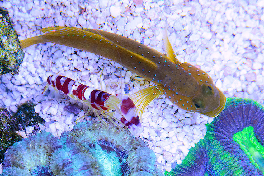 Candy-Stripe-Pistol-Shrimp-and-Yellow-Watchman-Goby.jpg
