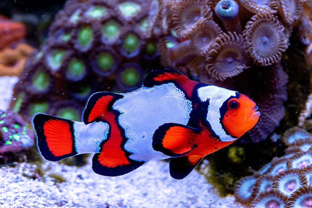 Ocellaris-Clown-Fish.jpg