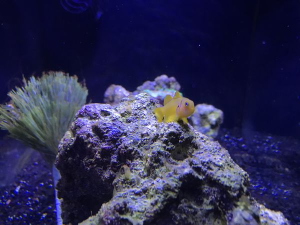 Citrinis Clown Goby