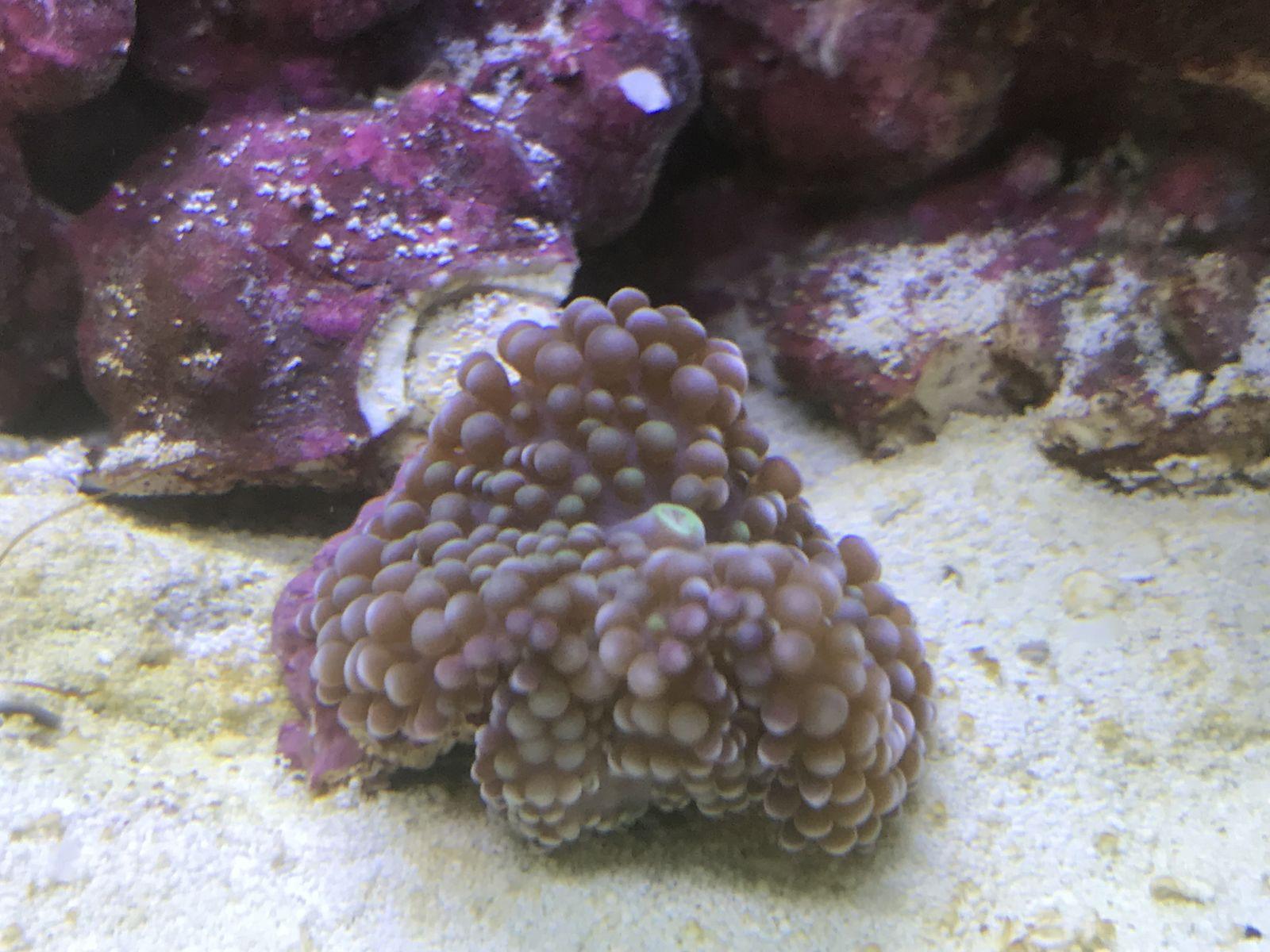 coral identification identification forum nano reef com community