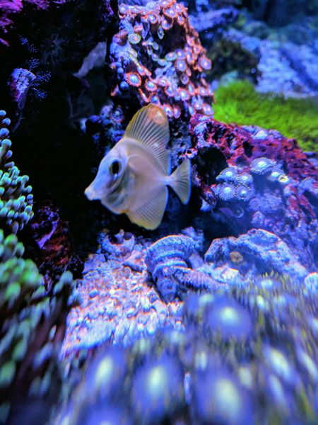 Captive Bred Yellow Tang
