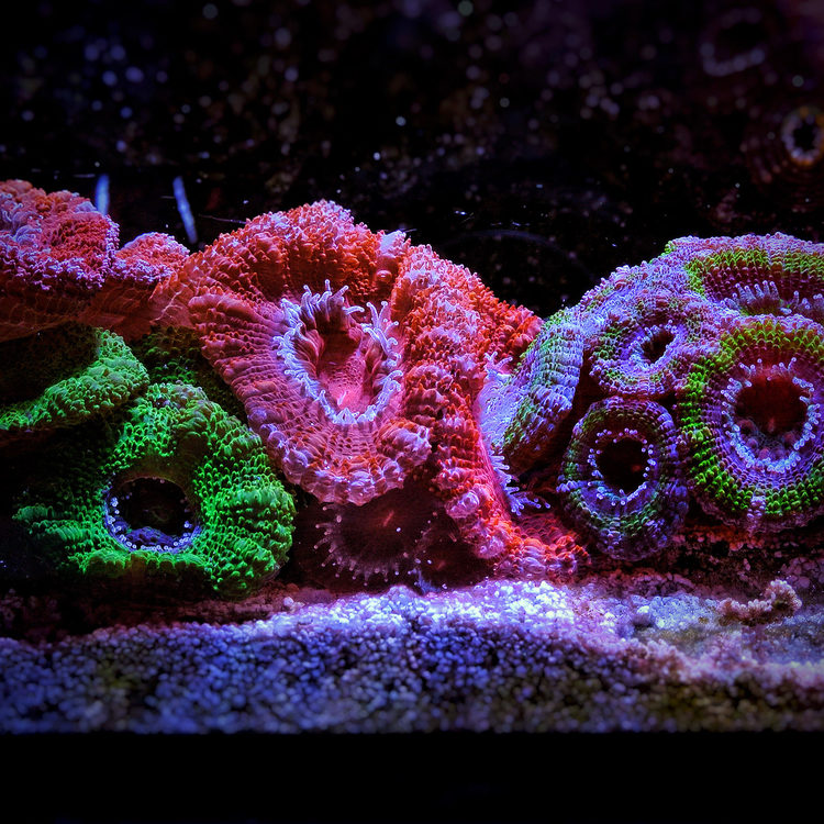 Acan-Lord-Side-View.jpg