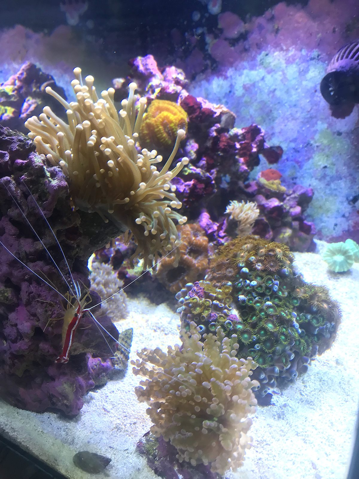 Another Fluval Evo 13 5 reef project - SPS growth pics under