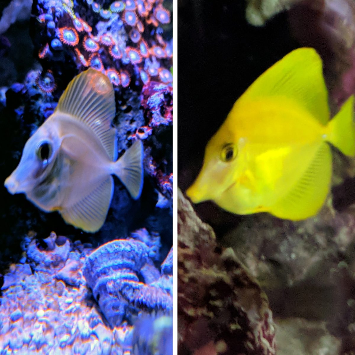 Captive Bred Yellow Tang Before and After