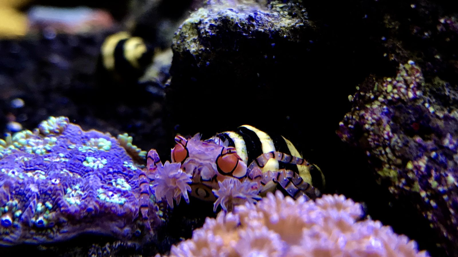 Pom Pom crab between flower pot corals
