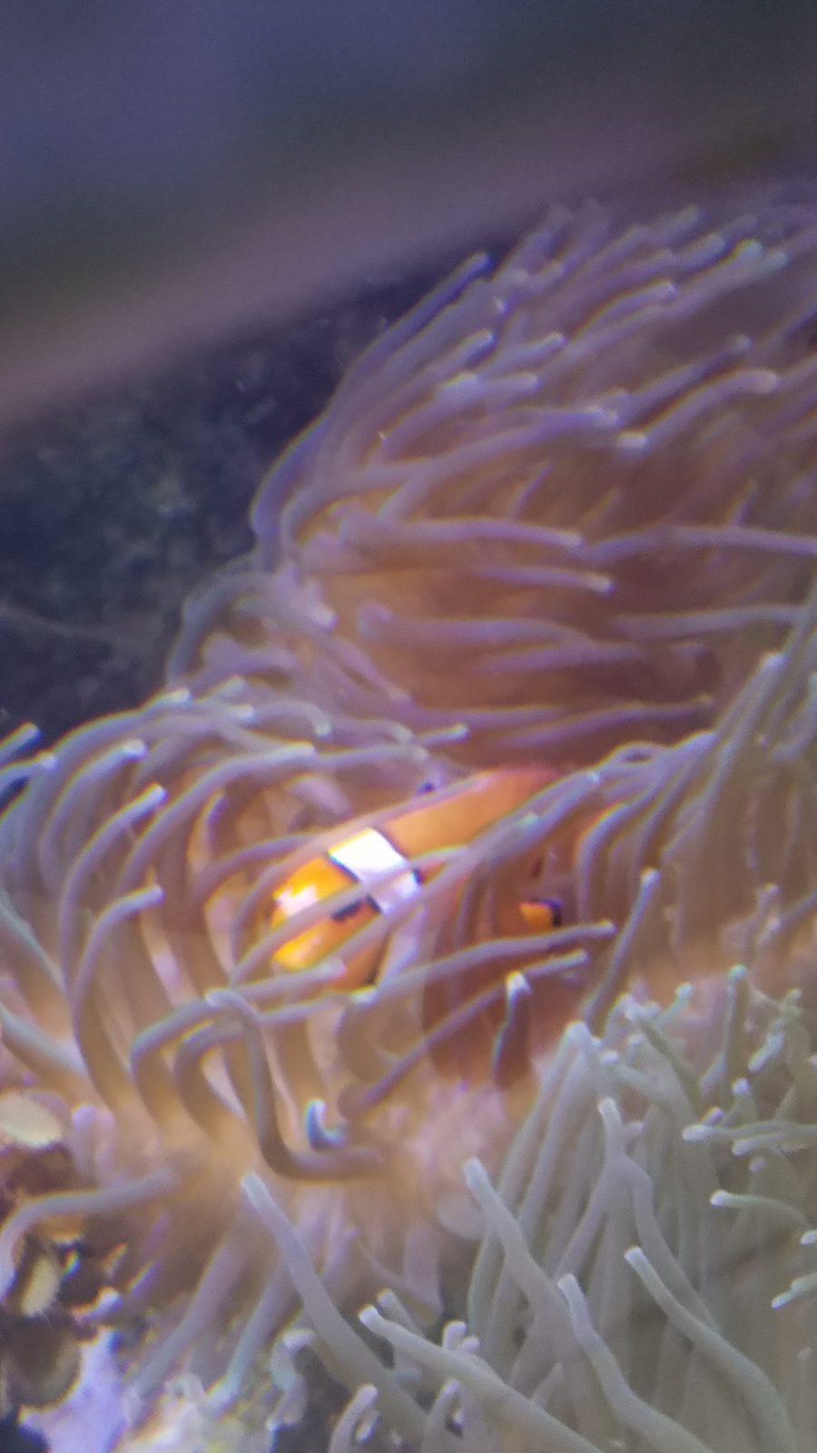 Clownfish's face slowly disintegrating! - Algae, Disease