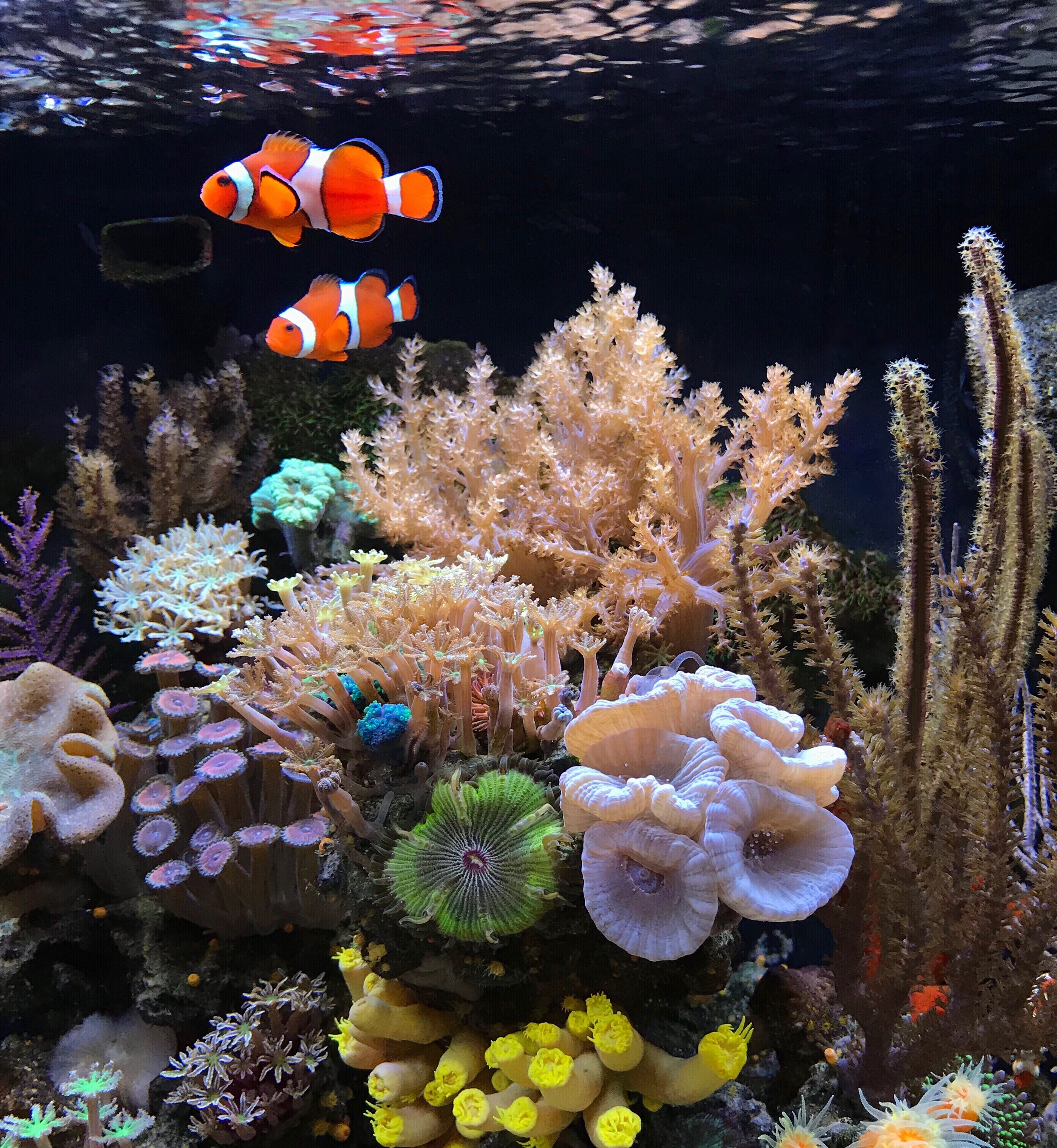 Clownfish Pair & Kenya Tree