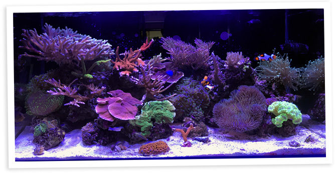 Zuma's 48 Gallon SPS Dominant Nano Reef