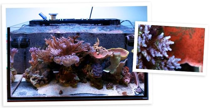 Joshthebox's IM Nuvo 20gal SPS Dominant Reef tank overall view