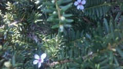 Yew Blossoms