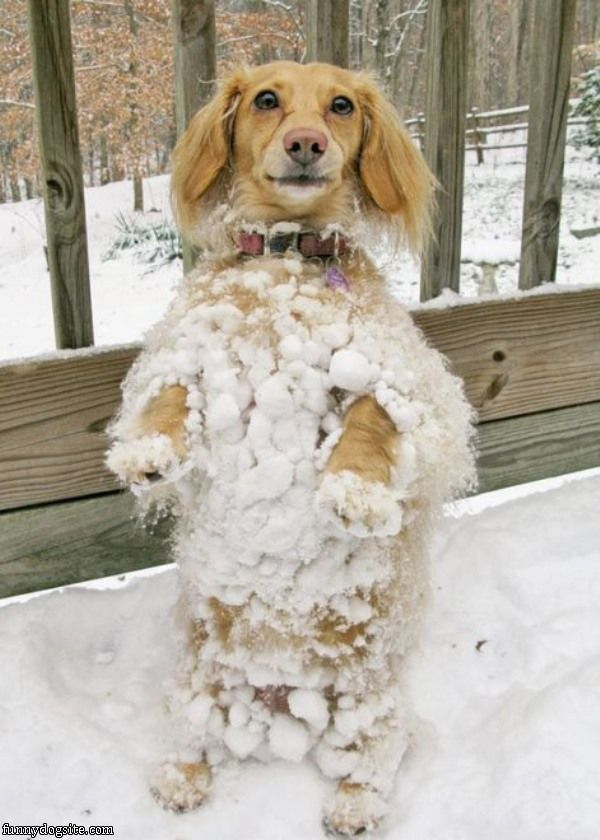 The_Snowball_Dog335.jpg
