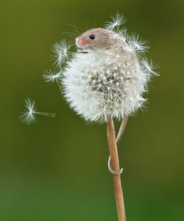 Mouse on a Dandelion.jpg