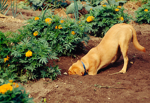 yellow-lab-digging-in-garden.jpeg