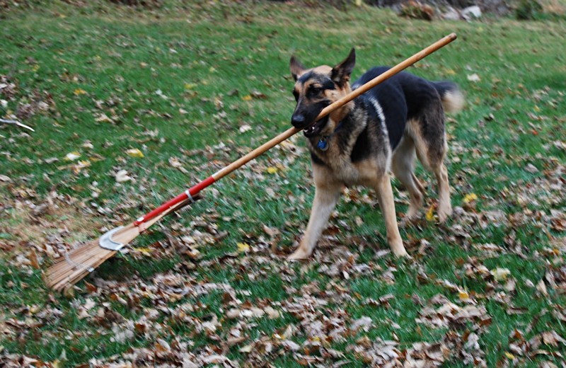Finn_raking__11_7_08_095_small.jpg