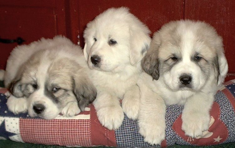 three_puppies.jpe