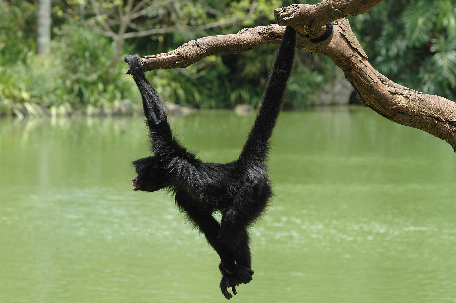 Swinging-Monkey-primates-356126_1600_1064.jpg
