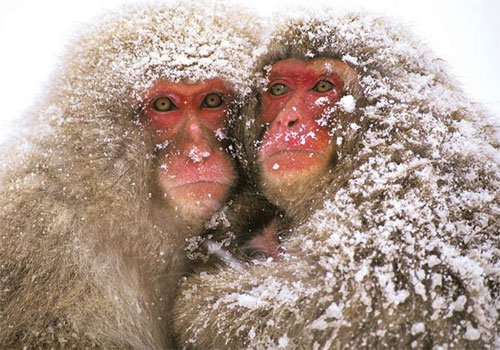 Japanese_macaque_2.jpg