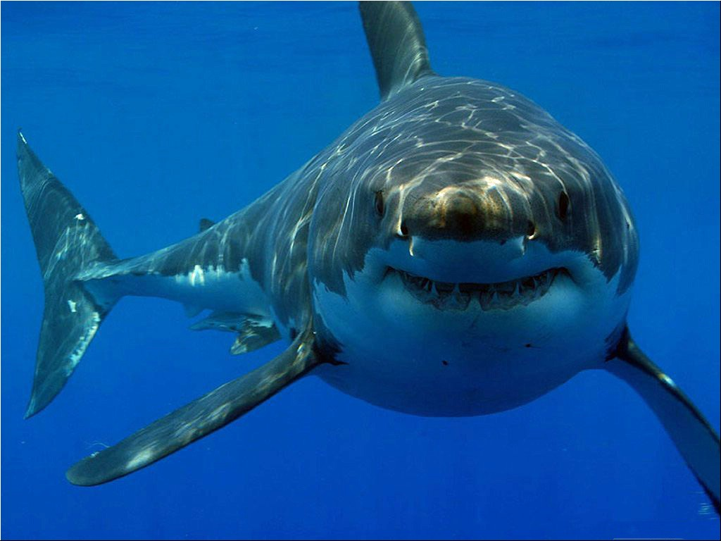 Great white shark Wallpaper__yvt2.jpg