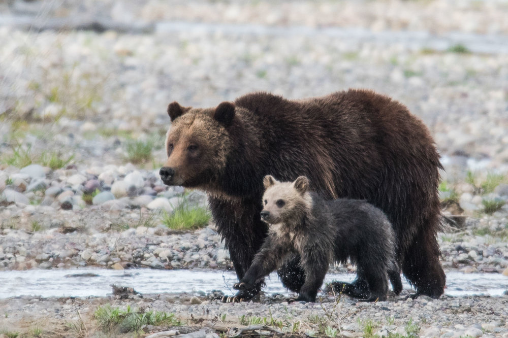 Image result for bear with cub images