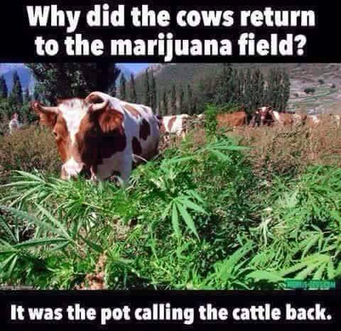 Funny-Cow-Meme-It-Was-The-Post-Calling-T
