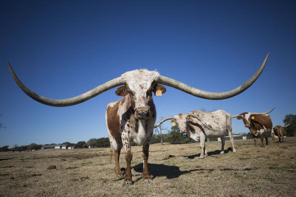 Texas Longhorn M Arrow Cha-Ching (at 129.5 inches, the longest current total horn length) on Richard Filip's ranch.
