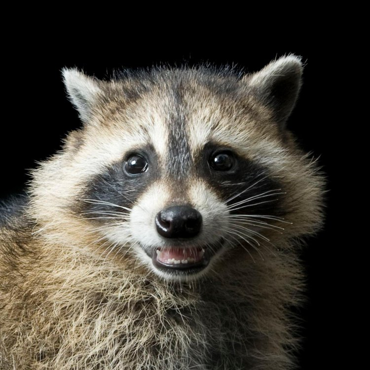 raccoon_thumb.ngsversion.1485815402351.adapt.1900.1.JPG&f=1&nofb=1