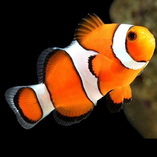 Image result for clown fish images