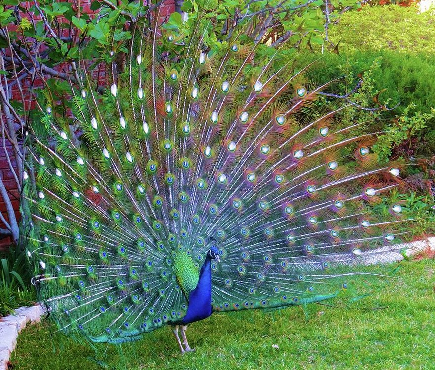 peacock-fan-in-full-bloom-doris-aguirre.