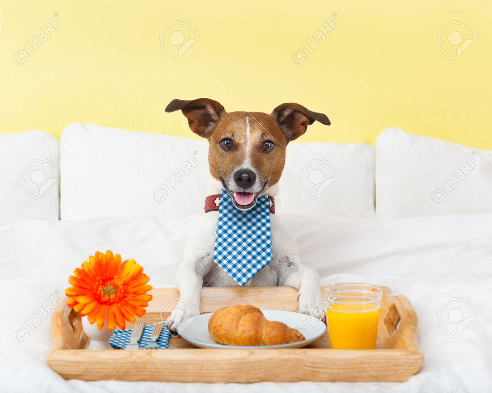 29201037-dog-having-nice-breakfast-in-white-bed-Stock-Photo-hotel.jpg