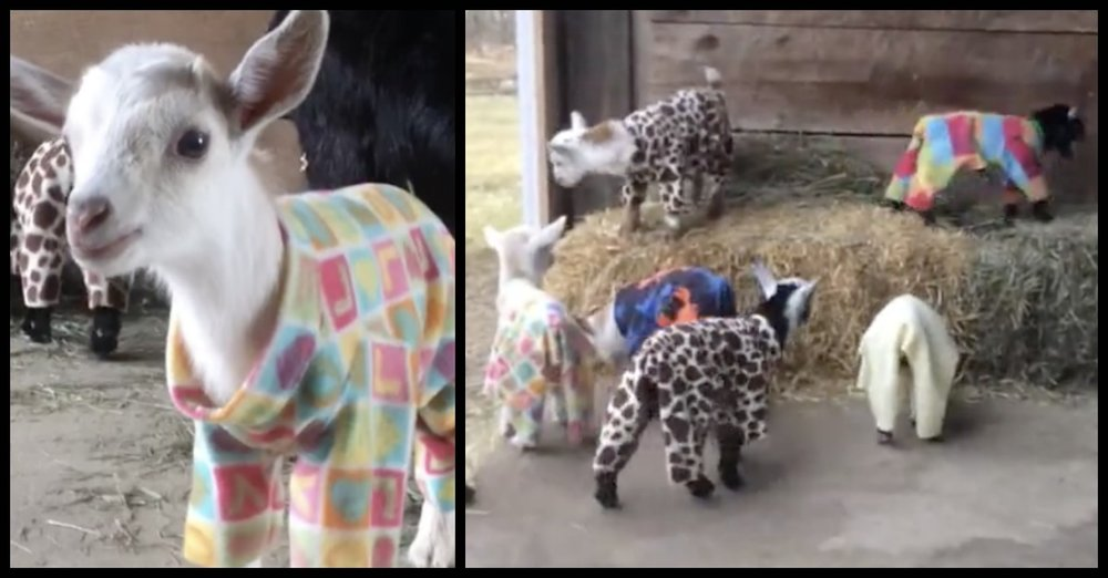 Baby Goats in Pajamas.jpg