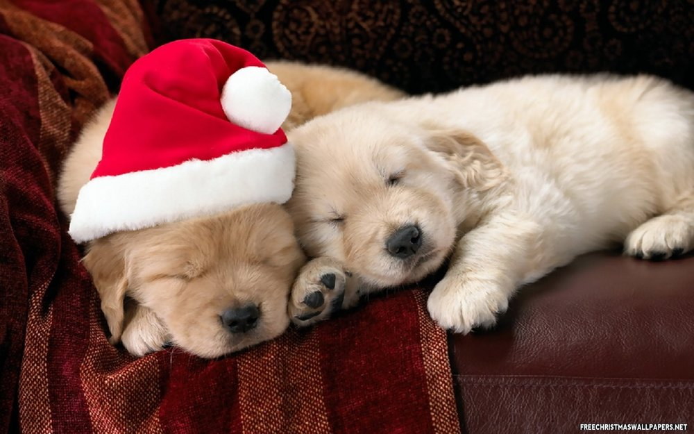 Cute-christmas-puppies-539037 (1).jpg