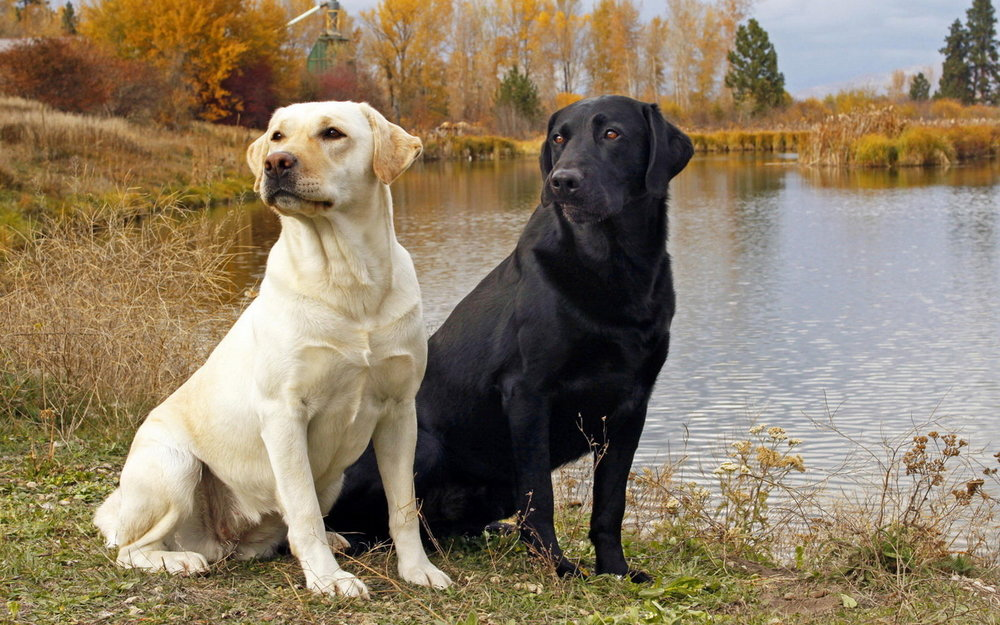 Animals_Dogs_Pair_of_Labrador_Retrievers_025414_.thumb.jpg.cc33e931d8450f85947d63deab6772bb.jpg
