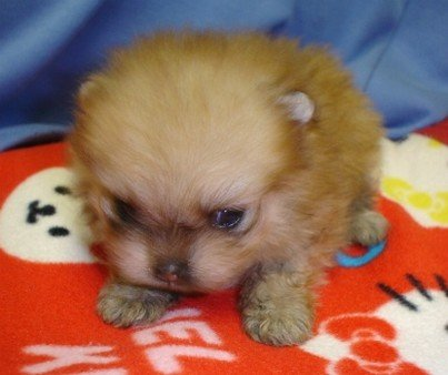 Super-Cute-Little-Pomeranian-Puppy.jpg