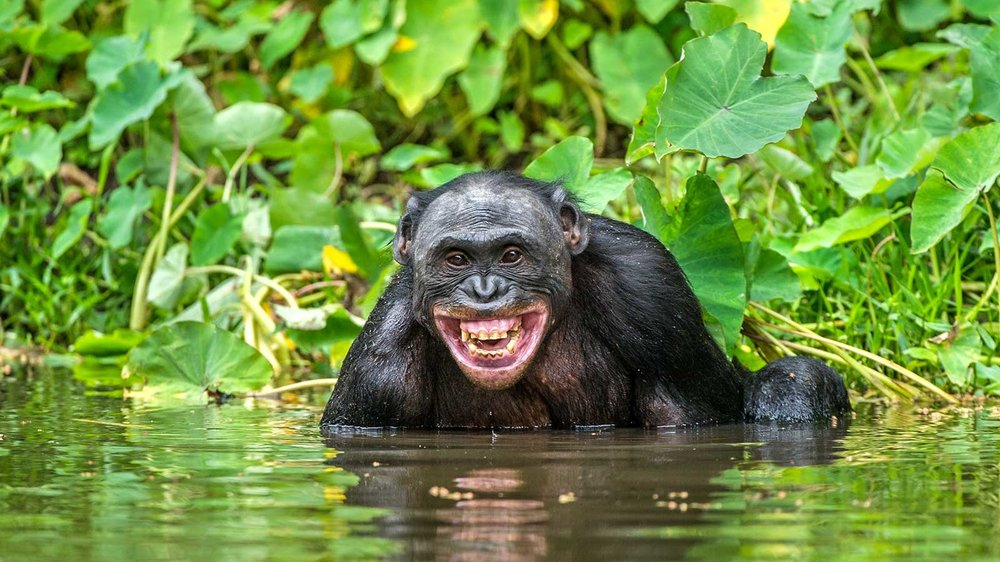 rain-forest-chimp.ngsversion.1553788183559.jpg