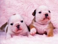 st-cute-baby-bulldogs-wallpaper-english-bulldog-puppies-ever-youtube-puppy-widescreen-on-pictures-of-hd-for-with-free-puppy-cute-baby-200x150.jpg