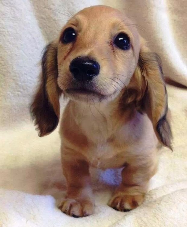 01c800c8cbc4afe4d47a63315a2183cd--puppy-eyes-dachshund-puppies.jpg