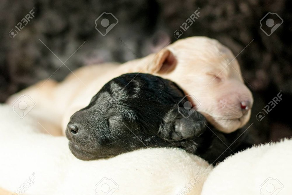 92213227-two-newborn-puppy-poodle-black-and-beige-together.jpg